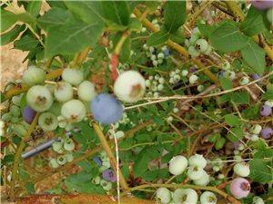 嶧山露營地北鄰大櫻桃園藍莓采摘