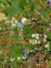 峄山露营地北邻大樱桃园蓝莓采摘