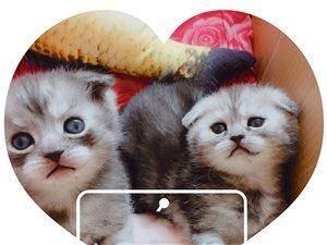 出售美短猫咪