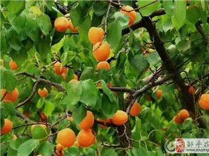 鹤伴山水杏采摘一日游