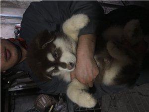 出售自家纯种阿拉斯加犬