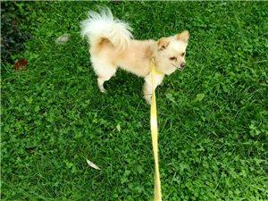 狐貍犬丟失,找回酬謝