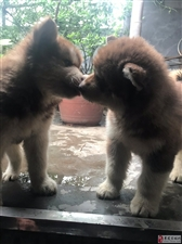 红色巨型阿拉斯加,两个月左右,因不想喂大型犬了,所以想找个爱狗人士,有诚意的来私聊(有狗爸狗妈的照片