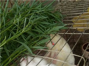 雪白小兔萌宠