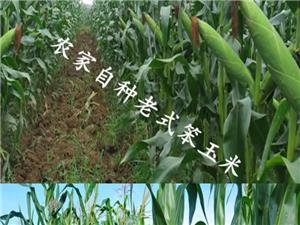农家自种新鲜玉米