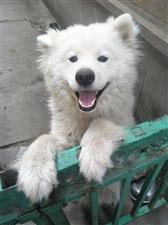 出售萨摩耶犬