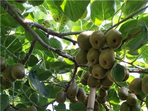 20畝紅心獼猴桃果園轉讓
