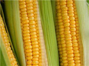 新鲜玉米穗,煮着吃的鲜玉米,欢迎大批采购