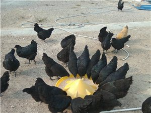 純山林放養走地雞