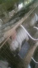 本人出售活肉兔,小白兔价格优惠微信S061758