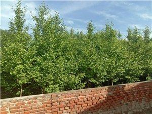 出售优质银杏树