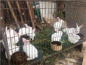 无极县城 卖小兔