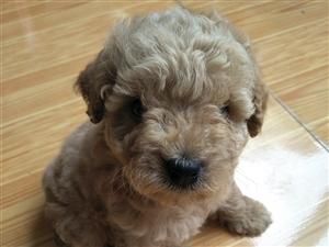 开户注册送20元体验金咖啡色泰迪犬一只,疫苗已打,已驱虫!品种绝对正点!因无闲照顾,现寻求有缘人!