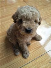 出售咖啡色泰迪犬一只,疫苗已打,已驱虫!品种绝对正点!因无闲照顾,现寻求有缘人!