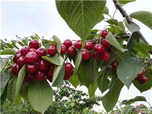 人生第一次体验摘樱桃