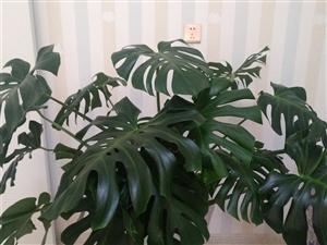 出售龟背竹一盆,16头的。本人可以百度一下,龟背竹是吸甲醛结果最好的,污染氛围。高1.2米。