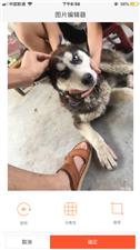 出售一只纯种哈士奇 没时间照料 狗狗太折腾了 很调皮 五个月大 寻有心人