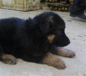 德国牧羊犬小犬