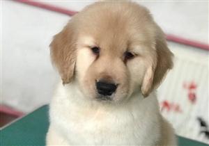 大头宽嘴金毛幼犬。保证血统,本人要出门一段时间,无力看管,低价出售!