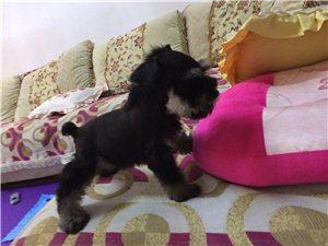 纯家养高品质雪纳瑞幼犬转让给有需要的朋友