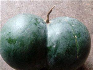 稀见的双胞胎西瓜