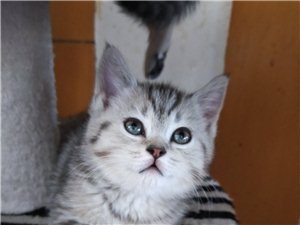 500元自家生的美短猫,二个月,一公一母