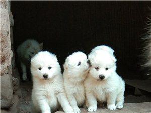 萨摩耶幼犬出售
