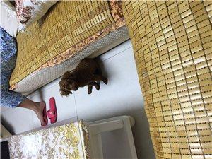 出售成年泰迪犬