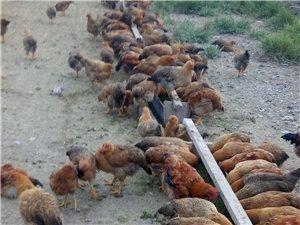 出售散养土鸡18709376709
