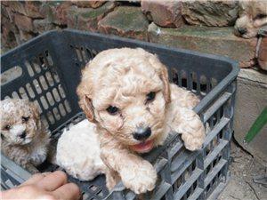 便宜出售自家泰迪。比熊和泰迪配的,母狗是比熊