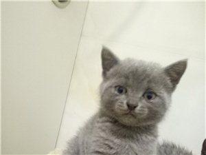英短藍貓有償領養特價急出小貓咪貓咪