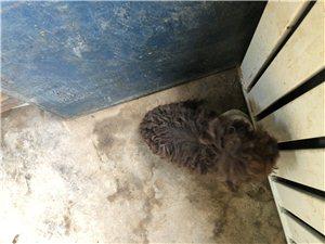 出售咖色泰迪狗狗,母狗,4个月,有疫苗注