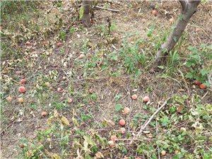 桃园处理鲜桃   5毛一斤