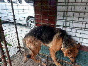 牧羊犬出售,个人养的,一年半,身体健康一点毛病没有。母的买去就能抱狗。电话微信同号134652788...