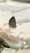 【随手拍】《花若盛开,蝴蝶自来》