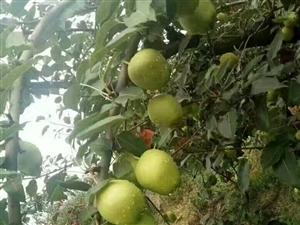 出售早熟梨