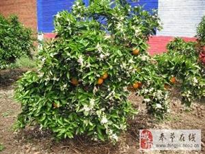 奉节脐橙-花果同树
