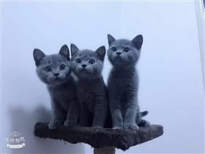 四个月英短蓝猫 已打两针疫苗