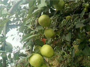富平早酥梨,�F已到成熟高峰期,��大,皮薄,脆甜,有需要的老板�s快下�瘟耍�微信��同�:1879139