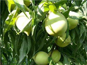 赣南鹰嘴桃您吃过了吗?七月初开园了……