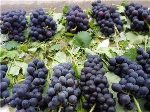 葡萄成熟季