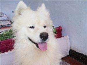 出售小一年萨摩公狗
