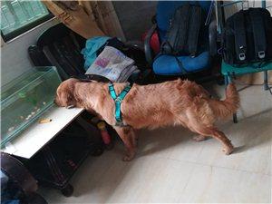 工作忙,没时间照顾爱犬,金毛出售,一岁多