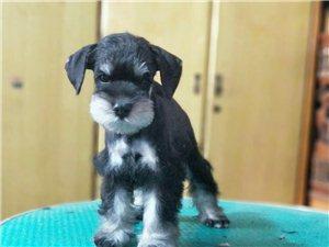 雪纳瑞幼犬出售