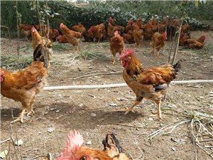 散养土鸡出售