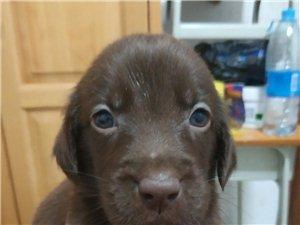 拉布拉多幼犬