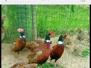 野鸡孔雀出售
