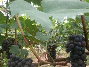 葡萄村葡萄熟了,生态种植,果子又大又甜。