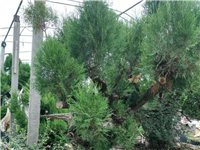 古松柏树3棵,自己已养殖8年,现忍痛出售,价格面议,