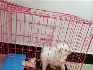 博美两个月幼犬